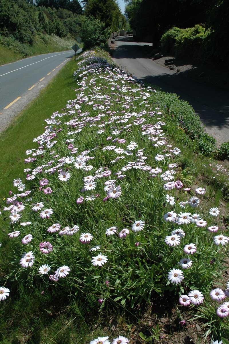 Osteospermums on roadside