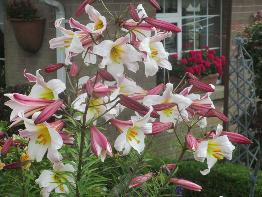 Lily Regale the Garden in July 2020