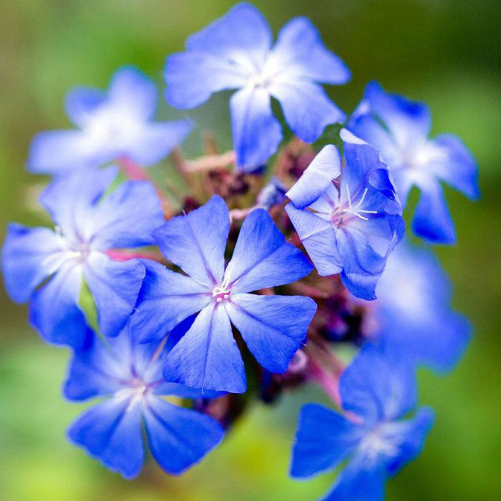 Forest blue ceratostigma