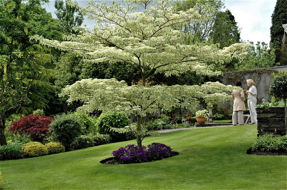 Cornus controversa at O'Connors